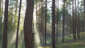 Sunny evening in pine forest stock footage