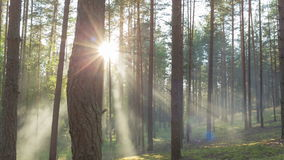 Sunny evening in pine forest stock video footage