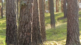 Sunny evening in pine forest Royalty Free Stock Images