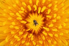 Sunny explosion. Bright yellow open flower petals spread out in different directions. Like a blast of warm sunshine filled the entire space. Small spider at the Royalty Free Stock Image