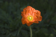Sunny face. Icelandic poppy stock photos