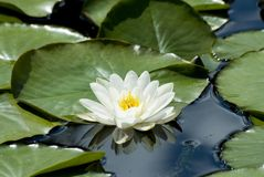 Sunny face. Waterlily in pond with reflection royalty free stock photography