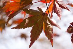 Fall maple leave prepars to fall. royalty free stock image
