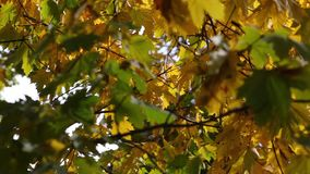Sunny fall day pan video of green and yellow maple tree leaves. Clip stock video