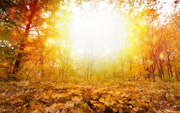 Sunny fall day in park. Beautiful autumn background - yellow, orange, red leaves, bright sunny fall day in park Stock Images
