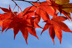Sunny fall maple leaves Royalty Free Stock Photos