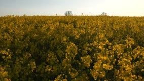 Sunny Farmland Blooming Rapeseed Canola cosecha el tiro HD del cardán de la primavera almacen de metraje de vídeo