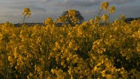 Sunny Farmland Blooming Rapeseed Canola cosecha el tiro HD del cardán de la primavera metrajes