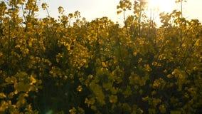 Sunny Farmland Blooming Rapeseed Canola cosecha el tiro HD del cardán de la primavera almacen de video