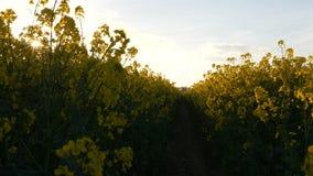 Sunny Farmland Blooming Rapeseed Canola cosecha el tiro 4K del cardán de la primavera almacen de video