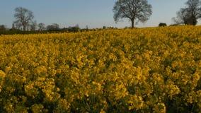 Sunny Farmland Blooming Rapeseed Canola cosecha el tiro 4K del cardán de la primavera almacen de metraje de vídeo