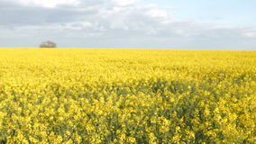 Sunny Farmland Blooming Rapeseed Canola erntet Frühlings-Kardanring-Schuss 4K stock video