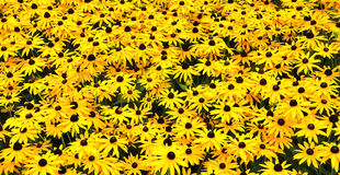 A sunny field with Black-eyed Susans. Closeup of a field with flowering Black-eyed Susan plants Stock Images