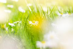 Sunny field of daisies; spring background stock images