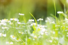Sunny field of daisies; spring background stock photography