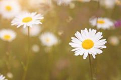 Sunny field of daisy flowers Royalty Free Stock Photography