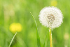 Sunny field with dandelions Royalty Free Stock Photos