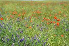 Sunny field of poppy Ukraine stock images