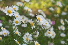 Sunny Field van Madeliefjes stock foto