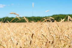 Sunny field with wheat Stock Photography