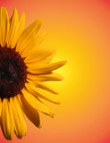 Sunny Flower. Sunflower with sunny looking background Stock Image