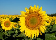Sunny flower. Field of sunflowers stretching to the horizon. They are big beautiful blossoms, bright yellow color is very similar to the sun Royalty Free Stock Image