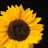 Sunny Flower on Black Background Royalty Free Stock Photography