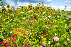 Sunny flower field. Colorful sunny flower field with wild flowers Stock Image