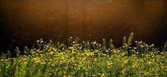 Sunny Flower Field Fiori in giardino Fuoco selettivo ed effetto di luce solare Fotografie Stock