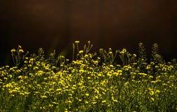 Sunny Flower Field Fiori in giardino Fuoco selettivo ed effetto di luce solare Fotografia Stock Libera da Diritti