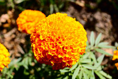 Sunny flower Royalty Free Stock Photography
