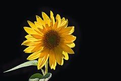 An sunny flower. An sun flower against a black back ground with an light vignette around the sun flower Stock Photo