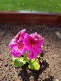 Sunny Flower Waterdrops fotografia de stock royalty free