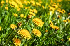 Sunny flowers dandelions stock image