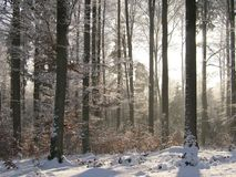 Sunny forest. Winter sunny forest stock photos