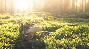 Free Sunny Forest Backdrop With Mushroom. Autumn Forest Morning With Bokeh Background Stock Image - 160738481