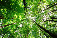 Sunny forest background. Reaching sky decidious sunny forest background Stock Image