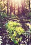 Sunny forest Royalty Free Stock Images
