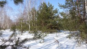 Sunny in the forest. Blue shadows on the snow. Birches go into the distance. In the foreground there are branches of pines Stock Image