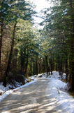 Sunny forest. Coniferous forest sunny winter day Royalty Free Stock Photography