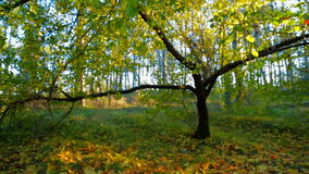 Sunny Forest In Early Autumn. Crane shot of a beautiful forest in the Crimea in early autumn - yellow leaves on the ground changed by the crown of a large green stock footage