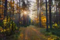 Sunny forest. Fall nature. Sun in forest. Sun shines at path in forest. Sunbeams through autumn trees. Autumn background stock images