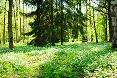 Sunny forest glade Royalty Free Stock Photos