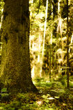 Sunny forest. Old tree in the sun Royalty Free Stock Photography
