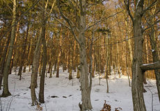 Sunny forest with snow-covered ground royalty free stock image