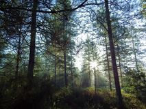 Sunny forest, sun in the trees royalty free stock image
