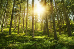 Sunny forest. Sunlight in the green forest Stock Photo