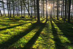 Sunny forest. At sunset with trunk shadows stock photography