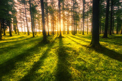 Sunny forest. At sunset with trunk shadows royalty free stock photography