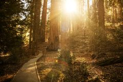 Sunny Forest Trail. In the Sequoia National Park in Sierra Nevada Mountains. Caliofornia, United States of America Royalty Free Stock Images